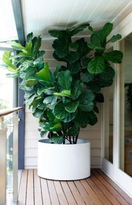 FiddleLeafFig07